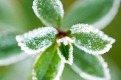 Tiro macro de hojas cubiertas helada Imagen de archivo libre de regalías