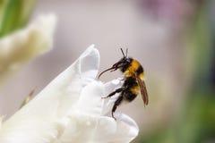 Tiro macro de la abeja amarilla negra en la flor Fotos de archivo libres de regalías
