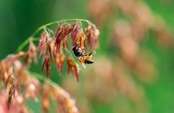 Tiro macro de la abeja amarilla negra que chupa el néctar dulce de las flores rosadas Fotografía de archivo