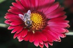 Tiro macro de la abeja de la miel en la flor Imagen de archivo