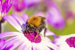 Tiro macro de la abeja en la flor Fotografía de archivo