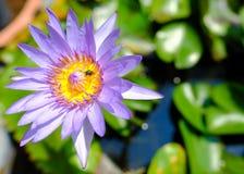 Tiro macro de la abeja en loto Fotos de archivo