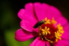 Tiro macro de la abeja que recoge el polen del mexicano Daisy Flower Background Fotos de archivo