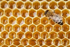 Tiro macro de la abeja que recoge la miel Fotos de archivo