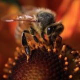 Tiro macro de la abeja fotos de archivo libres de regalías