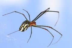 Tiro macro de la araña de mármol del tejedor del orbe Foto de archivo libre de regalías