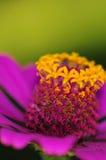 Tiro macro de la flor de la margarita Fotografía de archivo libre de regalías