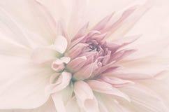 Tiro macro de la flor interior, pétalos rosados, falta de definición sutil Fotografía de archivo
