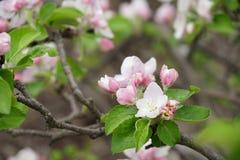 Tiro macro de la floración en flores de la primavera del manzano Fotos de archivo