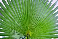 Tiro macro de la hoja tropical de la palmera imagen de archivo