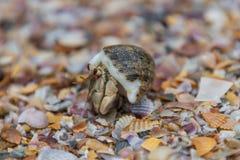 Tiro macro de la mierda del caracol que camina en cáscaras en Tailandia Imágenes de archivo libres de regalías