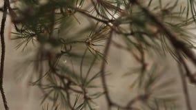 Tiro macro de la nieve que cae en la cámara lenta, escamas de las agujas del abeto que remolinan y que derivan contra picea y árb almacen de metraje de vídeo