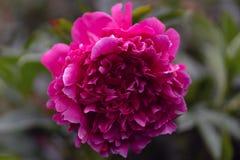 Tiro macro de la peonía rosada en foco suave imágenes de archivo libres de regalías