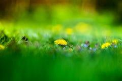 Tiro macro de las flores brillantemente amarillas del diente de león Foto de archivo libre de regalías
