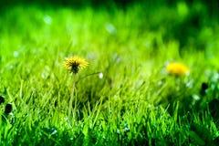 Tiro macro de las flores brillantemente amarillas del diente de león Fotos de archivo libres de regalías
