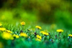 Tiro macro de las flores brillantemente amarillas del diente de león Imagen de archivo libre de regalías