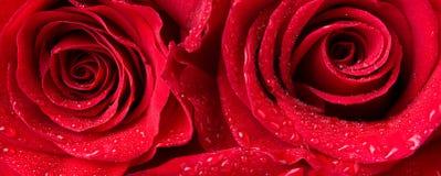 Tiro macro de las rosas de los dos rojos Fotos de archivo