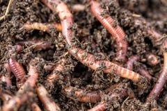 Tiro macro de los gusanos rojos Dendrobena en el abono, cebo vivo de la lombriz de tierra para pescar imagenes de archivo