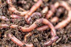 Tiro macro de los gusanos rojos Dendrobena en el abono, cebo vivo de la lombriz de tierra para pescar imagen de archivo