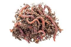Tiro macro de los gusanos rojos Dendrobena en el abono, cebo vivo de la lombriz de tierra para pescar aislado en el fondo blanco fotos de archivo libres de regalías