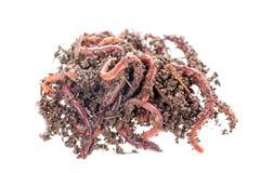Tiro macro de los gusanos rojos Dendrobena en el abono, cebo vivo de la lombriz de tierra para pescar aislado en el fondo blanco foto de archivo libre de regalías