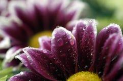 Tiro macro de surpresa de uma flor molhada fotografia de stock royalty free