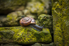 Tiro macro de um caracol em uma parede de pedra musgoso Imagens de Stock Royalty Free