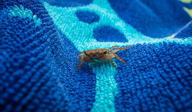 Tiro macro de um caranguejo minúsculo Fotos de Stock Royalty Free