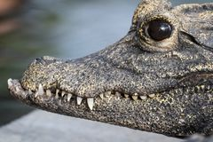 Tiro macro de um crocodilo tropical imagem de stock