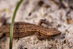 Tiro macro de um lagarto minúsculo fotografia de stock royalty free