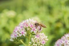 Tiro macro de uma abelha com as flores brancas com pontos avermelhados fotografia de stock royalty free