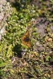 Tiro macro de uma borboleta alaranjada que descansa no sol foto de stock royalty free