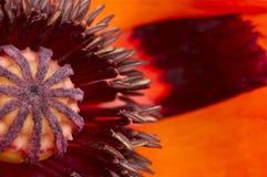 Tiro macro de uma flor da papoila Imagem de Stock