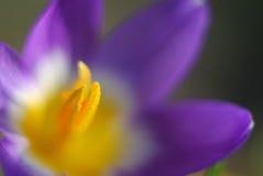 Tiro macro de uma flor roxa do açafrão Fotografia de Stock Royalty Free
