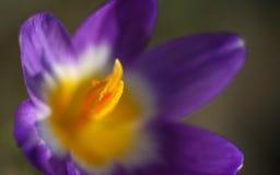 Tiro macro de uma flor roxa do açafrão Imagens de Stock