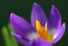 Tiro macro de uma flor roxa do açafrão Fotografia de Stock