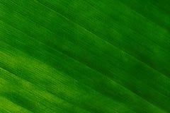 Tiro macro de uma folha verde Fotos de Stock Royalty Free