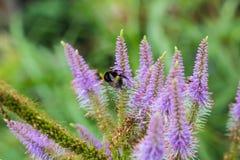 Tiro macro de un abejorro que alimenta en una flor púrpura del Liatris Imagen de archivo libre de regalías