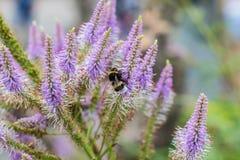 Tiro macro de un abejorro que alimenta en una flor púrpura del Liatris Fotos de archivo libres de regalías