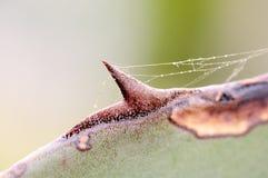 Tiro macro de un cactus con un web de araña imágenes de archivo libres de regalías