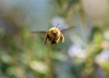Tiro macro de un vuelo del abejorro, haciendo frente a la cámara Imagen de archivo libre de regalías