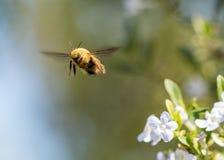 Tiro macro de un vuelo del abejorro, haciendo frente a la cámara Fotos de archivo libres de regalías