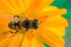 Tiro macro de una abeja que se sienta en la flor amarilla Foto de archivo