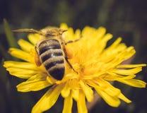Tiro macro de una abeja que se sienta en la flor amarilla Imagen de archivo libre de regalías
