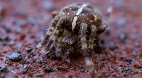 Tiro macro de una araña imagen de archivo libre de regalías