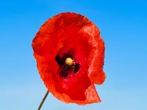 Tiro macro de una flor de la amapola fotos de archivo