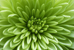 Tiro macro de una flor verde Foto de archivo libre de regalías