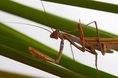 Tiro macro de una mantis religiosa con las patas delanteras y la cabeza fotos de archivo