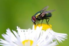 Tiro macro de una mosca foto de archivo libre de regalías