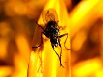 Tiro macro de una mosca en una flor amarilla Fotografía de archivo
